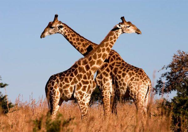 Girafas ameaçadas de extinção (Foto: Anima Brasil)